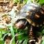 เต่า Cherry Head Redfoot Tortoise เต่าหนูน้อยหมวกแดง แห่งAmazon thumbnail 4