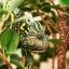 Veiled Chameleon กิ้งก่าเวลล์คามิเลียน thumbnail 7