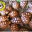 เต่าซูคาต้า (Sulcata Tortoise) thumbnail 8