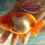 """ปลาสิงห์ 4"""" thumbnail 2"""