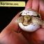 เต่าซูคาต้า (Sulcata Tortoise) thumbnail 5