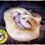 Ball Python (งูบอลไพธอน) thumbnail 2