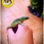 Green Iguana (อีกัวน่าเขียว) thumbnail 4
