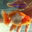 """ปลาสิงห์ 4"""" thumbnail 1"""