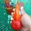 ออรันดา ยักษ์ ขาวแดง thumbnail 2