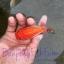 ปลาทอง สิงห์ลูกผสม thumbnail 3