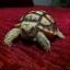 เต่าซูคาต้า (Sulcata Tortoise) thumbnail 3