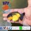 ปลาทอง สิงห์ลูกผสม thumbnail 4