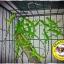 Green Iguana (อีกัวน่าเขียว) thumbnail 2