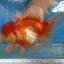 ออรันดา ยักษ์ thumbnail 1