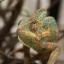 Veiled Chameleon กิ้งก่าเวลล์คามิเลียน thumbnail 2