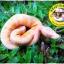 Ball Python (งูบอลไพธอน) thumbnail 1