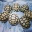 ขายเต่าซูคาต้า ขายเต่าบก เต่าซูคาต้า thumbnail 1