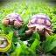 เต่าซูคาต้า (Sulcata Tortoise) thumbnail 7