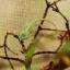 Veiled Chameleon กิ้งก่าเวลล์คามิเลียน thumbnail 4