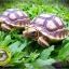 เต่าซูคาต้า (Sulcata Tortoise) thumbnail 2
